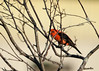 """<div class=""""jaDesc""""> <h4>Male Scarlet Tanager in Serviceberry Tree - July 23, 2016 </h4> <p>I was surprised to see this male  Scarlet Tanager flying around our back yard as the sun was setting.  We have not had one here since the summer of 2000 shortly after we moved in.</p> </div>"""