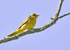 """<div class=""""jaDesc""""> <h4>Female Scarlet Tanager on Perch - June 1, 2014 </h4> <p>I was waiting for a Common Yellowthroat to return to this same branch when a female Scarlet Tanager appeared.  The male was not around, but I would love to get a shot of him too.</p> </div>"""