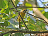 """<div class=""""jaDesc""""> <h4>Female Scarlet Tanager with Food - June 19, 2010 </h4> <p> I briefly caught a glimpse of this female Scarlet Tanager with a caterpillar in her beak. She was headed to a nearby nest in a deeply wooded area.</p> </div>"""