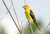 """<div class=""""jaDesc""""> <h4> Immature Male Scarlet Tanager - August 7, 2008 </h4> <p> When I first saw this bird, I thought it was a Goldfinch. Then I realized it was too large and didn't have the right markings.  After consulting with some experts, I determined that it is an immature male Scarlet Tanager - rare to see them at this stage.  It is hard to believe that lovely yellow will turn to a bright red as it matures.</p> </div>"""