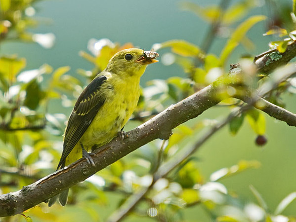 """<div class=""""jaDesc""""> <h4> Immature Male Scarlet Tanager - August 13, 2009 </h4> <p>This is the second year in a row that we have had a juvenile male Scarlett Tanager visit our yard.  He had grabbed a bug off our front door screen.  We have yet to see an adult.</p> </div>"""