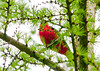 """<div class=""""jaDesc""""> <h4>Male Scarlet Tanager Belly Shot - May 18, 2013 </h4> <p>This male Scarlet Tanager just refused to give me a clear shot at him.  Oh well maybe next time.</p> </div>"""