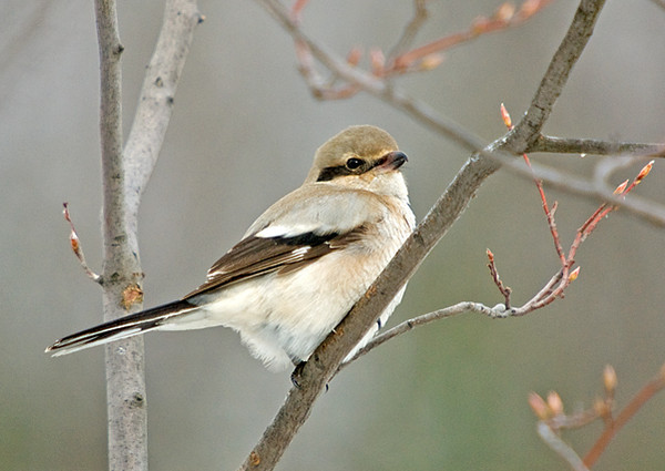"""<div class=""""jaDesc""""> <h4> Northern Shrike - Staying Down the Road - November 18, 2008 </h4> <p>  This guy is still in the area, but he is staying about a mile down the road. He hangs out by a huge grass field. Rodent hunting must be keeping him satisfied.</p> </div>"""