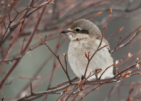 """<div class=""""jaDesc""""> <h4> Northern Shrike Looking Around - February 29, 2012 </h4> <p> No birds are in sight.  The Chickadees and Juncos are hiding in the dense holly bushes.  A Downy Woodpecker is hiding on the back side of the suet log.</p> </div>"""