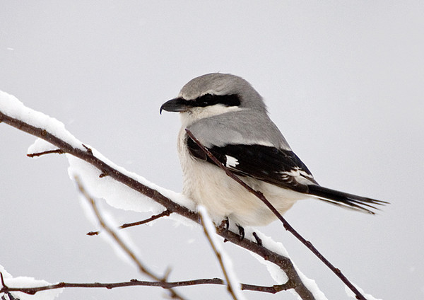 """<div class=""""jaDesc""""> <h4> Northern Shrike Looking Left - November 16, 2007 </h4> <p>  While getting my breakfast this morning, I noticed all the songbirds scrambling.  I figured a hawk was coming through, but instead I saw this Northern Shrike in the crabapple tree. </p> </div>"""