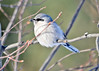 "<div class=""jaDesc""> <h4> Northern Shrike Staying Warm - January 7, 2014 </h4> <p>  Seems like one of these Northern Shrikes stops by at least once during the winter on a frigid cold day.  All the songbirds were hiding in the bushes as he scanned the feeder area.</p> </div>"