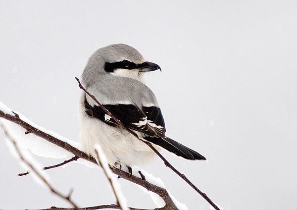 """<div class=""""jaDesc""""> <h4> Northern Shrike Looking Right - November 16, 2007 </h4> <p>  The Northern Shrike spent about 10 minutes looking all around for a potential meal, and then finally flew off.  While I have seen one around here a few times over the past 8 years in the summer, this is the first time I have gotten a photo.</p> </div>"""