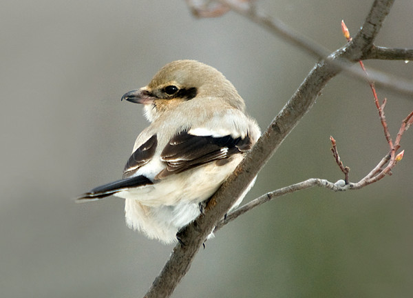 """<div class=""""jaDesc""""> <h4> Northern Shrike Hunting - November 18, 2008 </h4> <p>  A Northern Shrike was here this time last year.  All the song birds scrambled as if a hawk was in the area, but it was this little predator.  Two Chickadees ventured out from cover about 10 feet from him, but he didn't chase them.  Guess he figured it wasn't worth his energy - they are too fast.</p> </div>"""