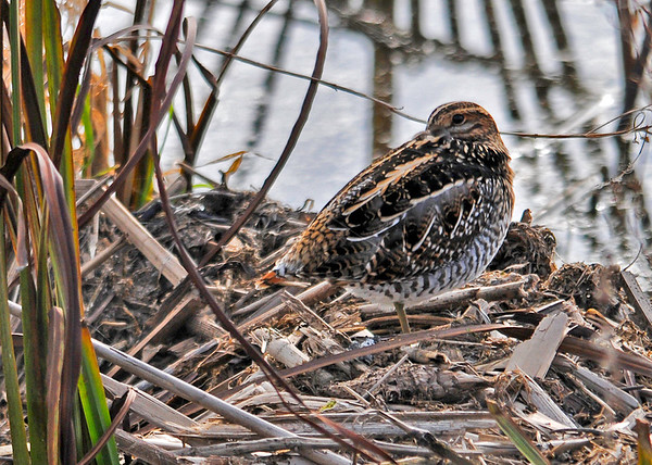 "<div class=""jaDesc""> <h4> Wilson's Snipe Beak Tucked - November 10, 2014</h4> <p> An hour later, I came back to where the Wilson's Snipe was resting.  The only thing that had changed was her bill was tucked under her wing.  (Montezuma Wildlife Refuge). </p>  </div>"