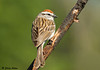 """<div class=""""jaDesc""""> <h4>Chipping Sparrow Looking Over Shoulder - May 12, 2009 </h4> <p> We have about 12 Chipping Sparrows as regular visitors now.  I have seen them gathering nesting material.  This guy was very cooperative for a pose.</p> </div>"""