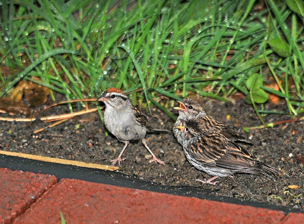 """<div class=""""jaDesc""""> <h4>Chipping Sparrow Chicks Wanting to Be Fed - July 21, 2010 </h4> <p> Two juvenile Chipping Sparrows were following their mother around chirping loudly - wanting to be fed. Mom would pick up white millet seeds and put them in their beaks. The juveniles are not yet making any attempt to get their own seeds.</p> </div>"""