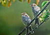 """<div class=""""jaDesc""""> <h4>Juvenile Chipping Sparrows Exploring - August 21, 2014 </h4> <p> These two juvenile Chipping Sparrows were following each other around looking for millet seed.  Mama was nearby, but they are now feeding on their own.</p> </div>"""