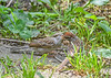 """<div class=""""jaDesc""""> <h4>Adult Chipping Sparrow Feeding Juvenile - August 27, 2018</h4> <p>White millet seeds being dropped in juvenile's beak.</p> </div>"""