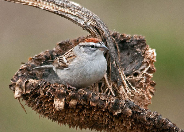 """<div class=""""jaDesc""""> <h4>Chipping Sparrow - 1st of Year - April 6, 2010 </h4> <p> Our first Chipping Sparrow showed up today.  So far I have seen only one, but he is making himself very much at home.  He likes to feed out of the dried sunflower seedpods just like the Chickadees and Juncos.</p> </div>"""