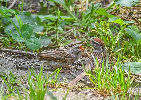 """<div class=""""jaDesc""""> <h4>Juvenile Chipping Sparrow Ready to Be Fed - August 27, 2018</h4> <p></p> </div>"""