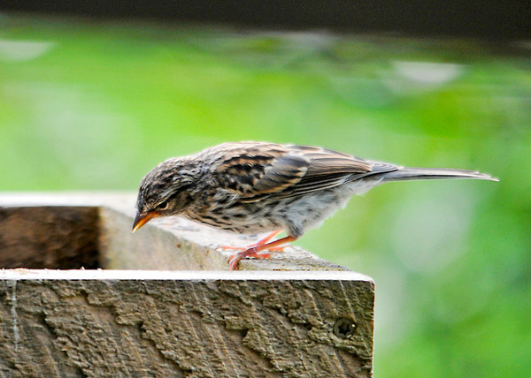 """<div class=""""jaDesc""""> <h4> Juvenile Chipping Sparrow Staring at Seed - September 6, 2013 - Video Attached</h4> <p> We have 3 Chipping Sparrows following their mom around wanting to be fed.  This one was considering getting some seed on his own, but when mom showed up he wanted her to feed him.</p> </div> </br> <center> <a href=""""http://www.youtube.com/watch?v=Tnw8PvrtKHU"""" class=""""lightbox""""><img src=""""http://d577165.u292.s-gohost.net/images/stories/video_thumb.jpg"""" alt=""""""""/></a> </center>"""