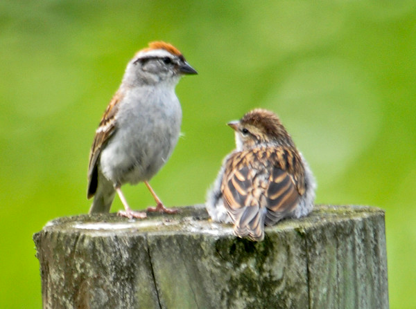 """<div class=""""jaDesc""""> <h4> Adult Chipping Sparrow Feeding Juvenile - July 21, 2014 - Video Attached</h4> <p> Every few minutes the adult Chipping Sparrow would arrive with more millet seed for this juvenile.  This went on for about 20 minutes before the baby bird flew off after the adult.</p>  </div> <center> <a href=""""http://www.youtube.com/watch?v=J6H85SBoa84"""" style=""""color: #0AC216"""" class=""""lightbox""""><strong> Play Video</strong></a> </center>"""