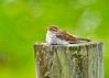 """<div class=""""jaDesc""""> <h4>Juvenile Chipping Sparrow Waiting to Be Fed - July 21, 2014 </h4> <p> I heard an incessant chipping sound coming from the far side of our water garden pond.  I noticed this juvenile Chipping Sparrow lying down on top of a pasture fence post calling to the adult for food.</p> </div>"""