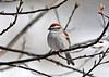 """<div class=""""jaDesc""""> <h4>Chipping Sparrow in Budding Cherry Tree - April 16, 2014 </h4> <p> Two Chipping Sparrows showed up over the weekend.  They seem very satisfied with the daily menu of millet seed.</p> </div>"""
