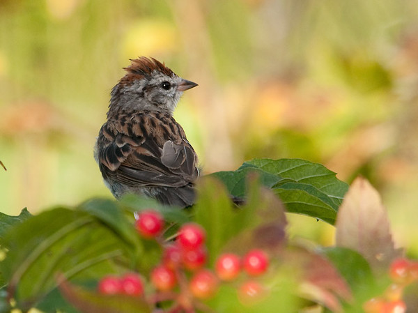 """<div class=""""jaDesc""""> <h4>Chipping Sparrow After Bath- August 11, 2011 </h4> <p> This Chipping Sparrow's crest is still a bit damp after his bath.  He chose one of our cranberry bushes as a place to air dry. </p> </div>"""