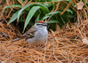 """<div class=""""jaDesc""""> <h4>Chipping Sparrow Looking for Millet Seed - May 3, 2016 </h4> <p>The Chipping Sparrows showed up 3 weeks ago; finally managed to get a shot of one.</p> </div>"""