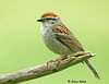 """<div class=""""jaDesc""""> <h4>Chipping Sparrow Posing - June 12, 2009 </h4> <p> This is one of the parent Chipping Sparrows that nested in the spruce tree by our barn.  Last week I inadvertently spooked 3 chicks out of their well hidden nest as I was walking toward my vegetable garden.  They all seemed to be able to fly well enough to make it to the closest tree and stay off the ground where they might be vulnerable.</p> </div>"""