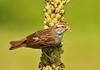 """<div class=""""jaDesc""""> <h4>Adult Chipping Sparrow with Caterpillar - July 22, 2010 </h4> <p> This adult Chipping Sparrow was inbound to feed a caterpillar to one of her youngsters. She stopped briefly on one of the mullein flower stalks in our yard.</p> </div>"""