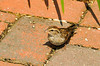 """<div class=""""jaDesc""""> <h4>Juvenile Chipping Sparrow - August 11, 2013 </h4> <p> One of this year's juvenile Chipping sparrows was ground feeding on our brick path.  White millet seeds are their favorite.</p> </div>"""