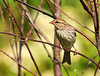 """<div class=""""jaDesc""""> <h4>Juvenile Chipping Sparrow Waiting to Be Fed - July 22, 2010 </h4> <p> Even though the juvenile Chipping Sparrows have been out of the nest for several weeks, they are still looking to be fed by their parents. Unlike the adult plumage, the juveniles have spots on their breast, a light eye bar and light cap.</p> </div>"""