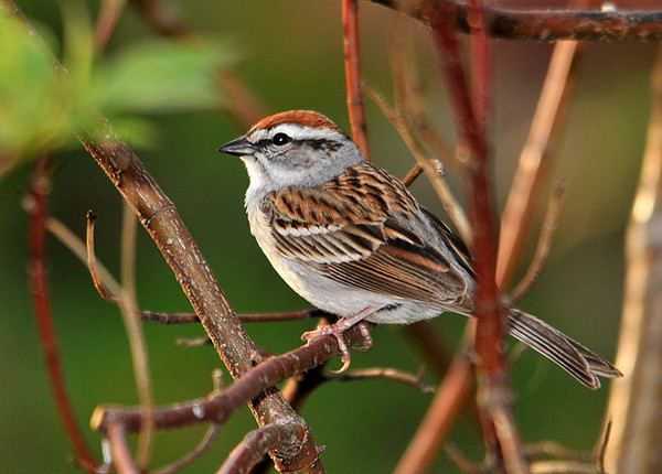 """<div class=""""jaDesc""""> <h4>Chipping Sparrow in Red-twig Dogwood Bush - May 1, 2010 </h4> <p> The red-twig dogwood bush in front of our house is a very popular spot for the ground feeding birds.  This Chipping Sparrow is perched in the middle of it waiting for a space to open up on the ground among the Juncos, Goldfinches, Song Sparrows, Field Sparrow and Cardinals.</p> </div>"""