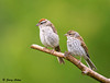 """<div class=""""jaDesc""""> <h4>Juvenile Chipping Sparrow with Mom - August 13, 2009 </h4> <p> This juvenile Chipping Sparrow was hanging close to mom as they flew around our backyard.  While on this perch the youngster kept scooting in close as mom moved up the branch.</p> </div>"""