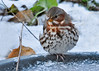 """<div class=""""jaDesc""""> <h4> Unhappy Fox Sparrow - November 18, 2014 </h4> <p>One of the Fox Sparrows flew to the frozen birdbath and looked a bit puzzled; as if to say """"what kind of bird-stop are you running here - no heated birdbaths?"""" </p> </div>"""