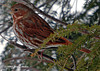 """<div class=""""jaDesc""""> <h4> Fox Sparrow in Hemlock Tree - March 12, 2006 </h4> <p>Our hemlock tree is a favorite perch spot for the Fox Sparrows.  They can stay well hidden, while having a view of the feeder area.</p> </div>"""