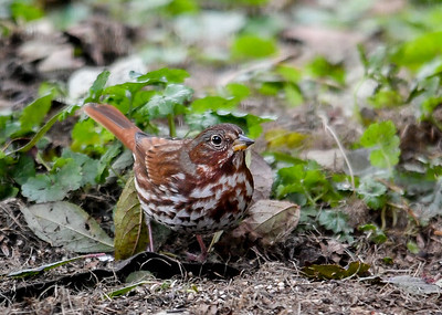 Fox Sparrow Searching for Seed - October 25, 2018 While there was lots of white millet seed where he was looking, he was passing it over.