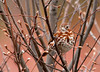 """<div class=""""jaDesc""""> <h4> Fox Sparrow in Budding Serviceberry Tree - April 8, 2011 </h4> <p> We had a pair of Fox Sparrows visiting for over a month; they have moved on North. Hopefully they will stop by on their way South in October.</p> </div>"""