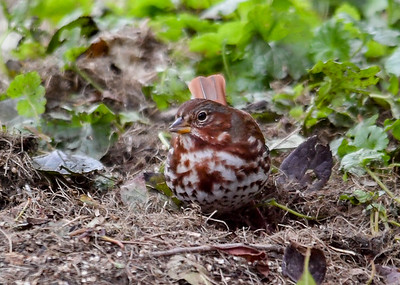 Fox Sparrow Migrating - October 25, 2018 This lone Fox Sparrow showed up in our backyard.