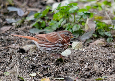 Fox Sparrow Briskly Scratching Ground - October 25, 2018 The Fox Sparrows have an amazing ability to rapidly shuffle their claws forward and backward in search of hidden seed while keeping their upper body totally still.  Notice the blurred legs and claws.
