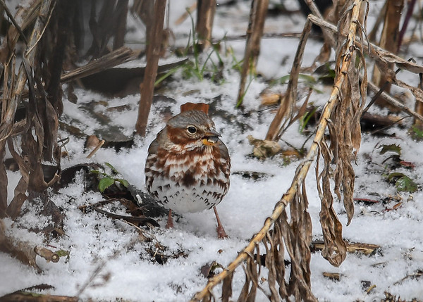 """<div class=""""jaDesc""""> <h4>Fox Sparrow Eating Seed - February 26, 2017</h4> <p>A third Fox Sparrow found a seed and then raced into a weed patch for cover while eating.</p> </div>"""