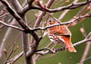 """<div class=""""jaDesc""""> <h4> Fox Sparrow in Serviceberry Tree - April 14, 2013 </h4> <p> We had a group of 6 Fox Sparrows visit briefly last week, but they moved on right away.  This one showed up yesterday and may stay for a few days.  I make sure to spread white millet seed on the ground under bushes; that is where they prefer to groundfeed.</p> </div>"""