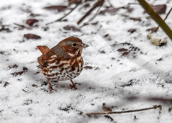 """<div class=""""jaDesc""""> <h4>Fox Sparrow with Snow on Beak - February 26, 2017</h4> <p>A second Fox Sparrow was probing the snow for seeds.  The snow was sticking to his beak.</p> </div>"""