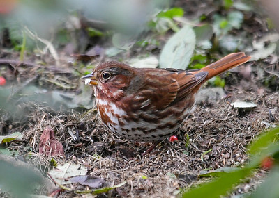Fox Sparrow Finds Safflower Seed - October 25, 2018 His diligence paid off as he found a Safflower seed, a favorite.