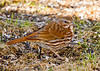 """<div class=""""jaDesc""""> <h4> Fox Sparrow Scratching for Seed - April 6, 2008 </h4> <p>Another Fox Sparrow arrived about a week ago.  It has been hard to get a shot because it mostly scratches under the bushes for loose seed. This sparrow is the largest of the sparrows in this area.</p> </div>"""