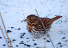 """<div class=""""jaDesc""""> <h4> Fox Sparrow Ground Feeding in Snow - March 6, 2008 </h4> <p>This Fox Sparrow showed up last week at the same time as the Blackbirds and only stayed for 2 days.  I'm hoping we get a few more on their way north.  Normally a couple of them stay for about a week.  I think the huge flock of Blackbirds scared it off.</p> </div>"""