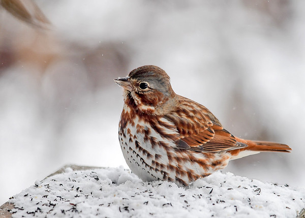 """<div class=""""jaDesc""""> <h4>Fox Sparrow with Curious Look - March 11, 2017</h4> <p>The Fox Sparrows have gotten used to my presence and let me get very close.</p> </div>"""