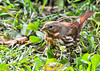 """<div class=""""jaDesc""""> <h4> Fox Sparrow Ground Feeding - Front View - November 5, 2013 </h4> <p> The Fox Sparrow is one of the largest sparrows.  They are also one of the most vigorous ground scratchers when looking for seed.  I have to rearrange much of my ground cover mulch after they have scattered it out of the flower beds.</p> </div>"""