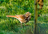 """<div class=""""jaDesc""""> <h4> Fox Sparrow Ground Feeding - October 19, 2008 </h4> <p>Here is the best of the photos I got of the Fox Sparrow that is passing through.  He is a ground feeder and usually stays in the brush where he is mostly hidden.  He will probably be here for only a day or two.</p> </div>"""