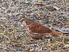 """<div class=""""jaDesc""""> <h4> Fox Sparrow Scratching for Millet Seeds - March 28, 2011 </h4> <p> We still have two Fox Sparrows sticking around. Normally they stay for only a week or so on their way north, but with the late snow storms and cold weather, they have been here for over 3 weeks now. They scratch back and forth very briskly to stir up seeds as they ground feed. </p> </div>"""