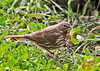 """<div class=""""jaDesc""""> <h4> Fox Sparrow Ground Feeding - Side View - November 5, 2013 </h4> <p> I was lucky to get a few photos of a migrating Fox Sparrow the morning I left for my week long trip to Virginia Beach.  They usually only stay for a few days on their way South.</p> </div>"""