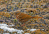 """<div class=""""jaDesc""""> <h4> Fox Sparrow Eating Sunflower Seed - March 31, 2008 </h4> <p>We now have 2 Fox Sparrows; hopefully they will stay awhile.</p> </div>"""