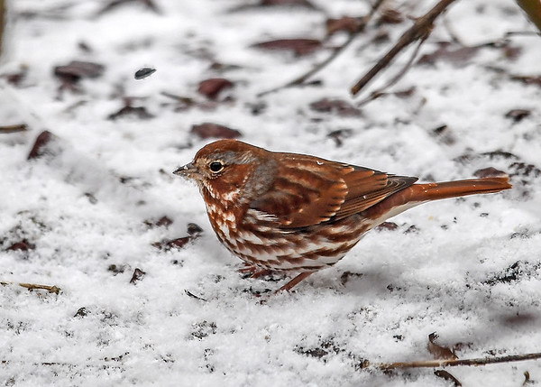 """<div class=""""jaDesc""""> <h4>Fox Sparrow Exploring in Snow - February 26, 2017</h4> <p>A family of four Fox Sparrows arrived while it was snowing this morning.  This one was hopping and scratching in the snow looking for seeds.</p> </div>"""